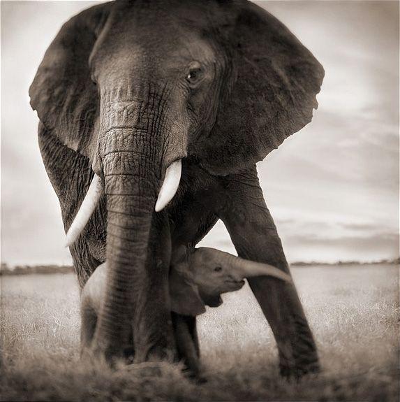 Nick Brandt Photography, ELEPHANT MOTHER W/ BABY HOLDING LEG, SERENGETI 20