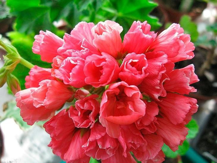 Тюльпановидная пеларгония