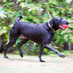 All it takes is one person to change the life for Ebony... This fun loving girl has been at the rescue far too long. Please help her find her way home by liking and sharing her post. Thank you! http://gsp-rescue.org/ebony-personality-is-a-plus/