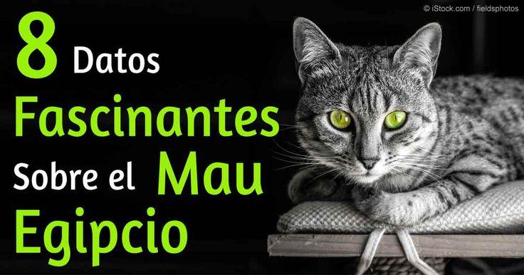 Los gatos Mau Egipcios son vivaces y juguetones, así como una buena opción para familias con niños y perros amistosos. http://mascotas.mercola.com/sitios/mascotas/archivo/2015/12/04/raza-de-gato-mau-egipcio.aspx