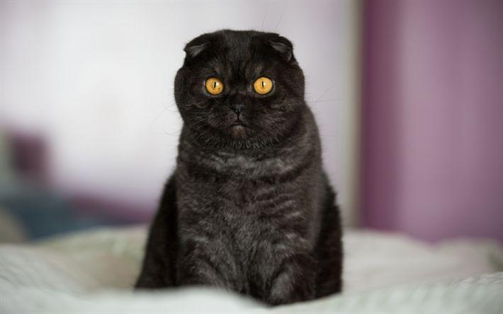 Download Wallpaper schwarze Katze, Scottish Fold Katze, Haustiere, kurzhaarige Katzenrassen, niedliche Tiere, Katzen