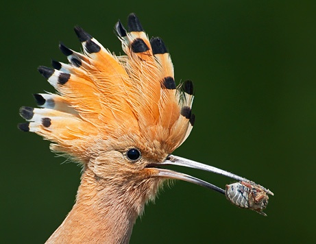 A hoopoe holds a bug snack in its beak in Hortobágy National Park in Pusztaszer, Hungary, in May 2008.Photograph courtesy Markus Varesvuo