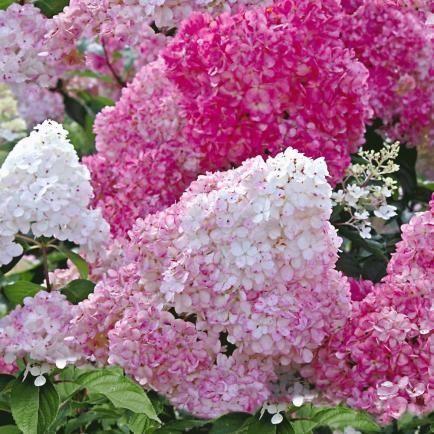 Freiland-Hortensie 'Vanille Fraise®',1 Pflanze