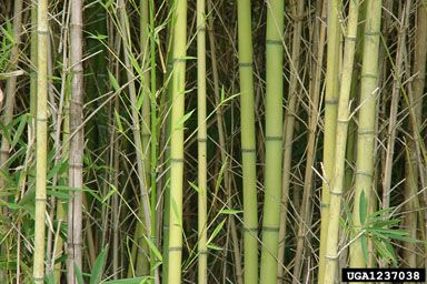 Bamboo (Golden Bamboo, Fishpole Bamboo) | Scientific Names: Phyllostachys aurea | Family: Gramineae