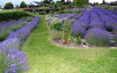 Okanagan Lavender & Herb Farm | Kelowna, BC