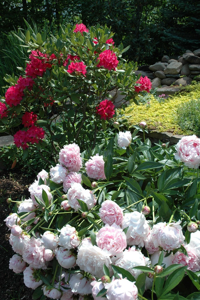 Peonies and Rhodendrons
