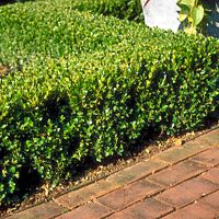Winter Gem Boxwood, Good for hedge.