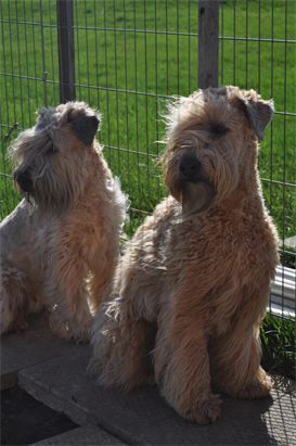 Soft Coated Wheaten Terrier - I want one bad, but they cost $700 & up and may not be good with cats