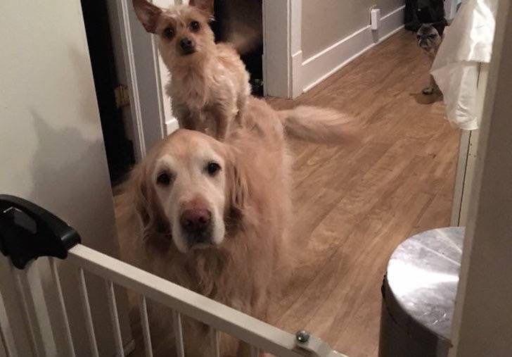 Este diminuto perro usa a su hermano mayor para todo lo que necesita. Son la mejor pareja!