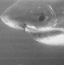 Habitat and behavior of the great white shark!