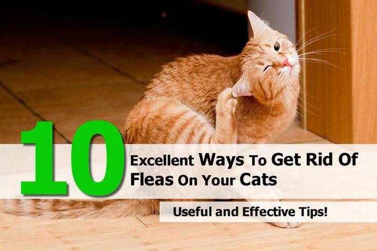 Getting Rid Of Cat Fleas - http://pets-ok.com/getting-rid-of-cat-fleas-cats-1746.html