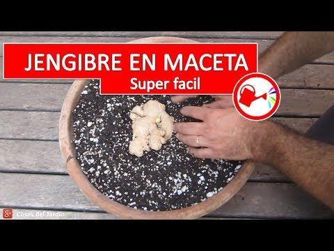 Como plantar jengibre en maceta - Cultivo de jengibre comprado en el mer...