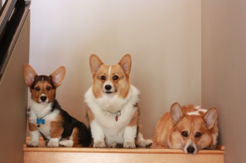3 corgis on the stairs.  Quite the little posers.