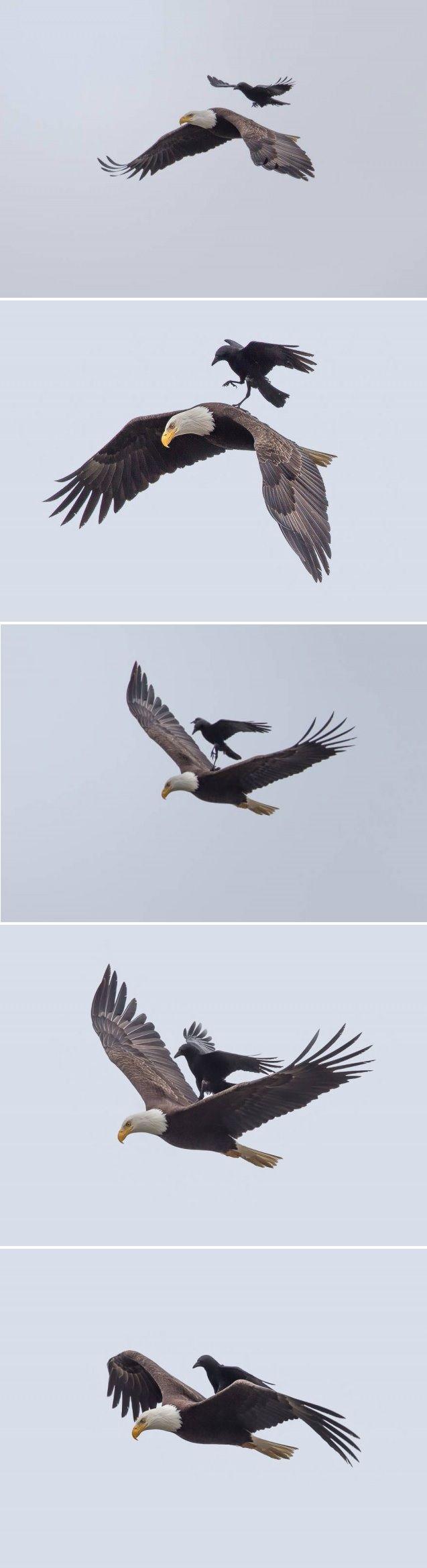 烏鴉背負禿鷹