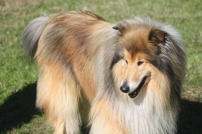 Davis, chien Colley à poil long