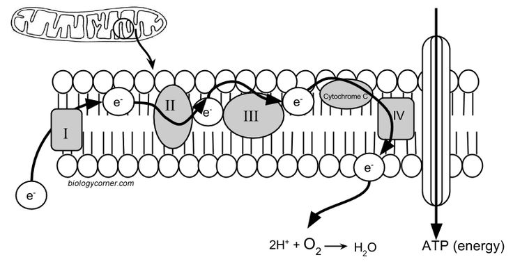 36 best Cellular Respiration Teaching Materials images on