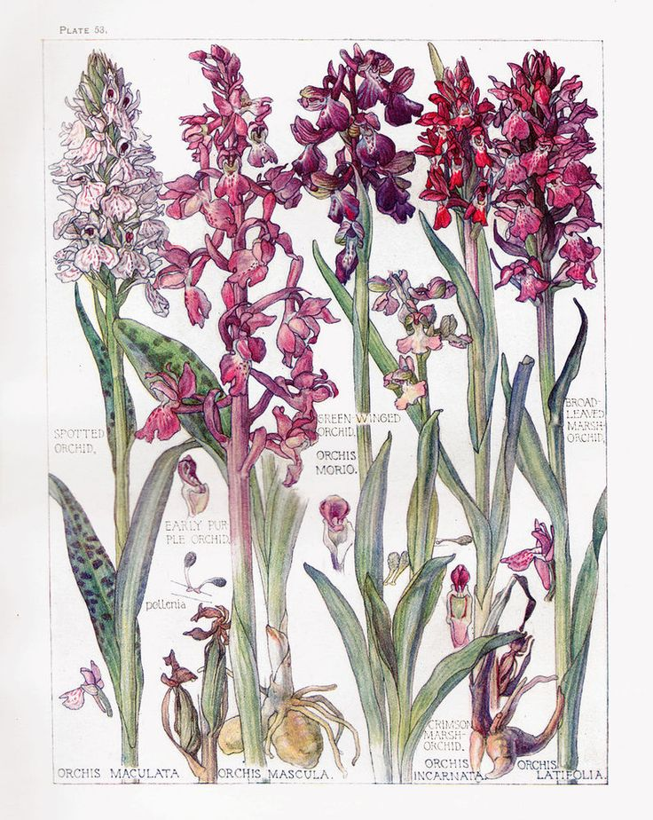 Botanical Print - Orchids- Isabel Adams - British Wild Flowers