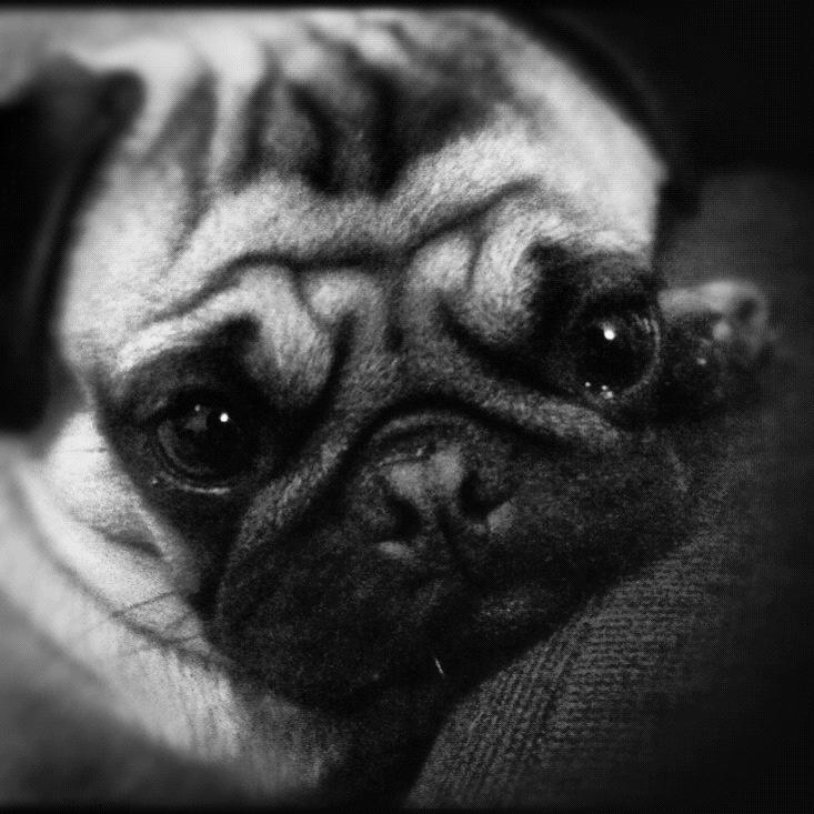 Gus  Pug, Carlino <3 <3  #picfanfoto