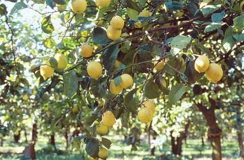 Lemon Forest of Poros Island, Greece