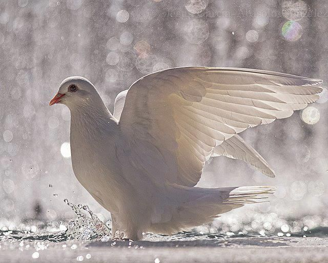 White Dove of peace                                                                                                                                                     More