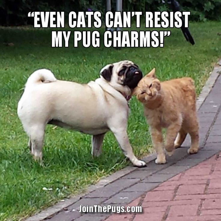 Pug Romeo