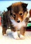 sheltie puppy, We loved our 'Sunwind Sunsaber', and called him 'Saber'  He was so energetic, smart and loving.