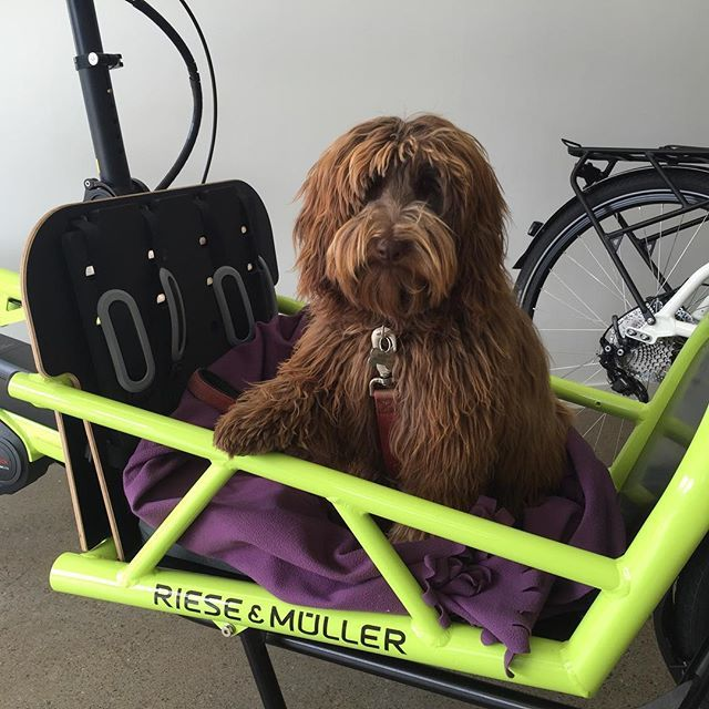 Ok. I'm calling it. This is THE cutest bike photo I've ever taken. Bailey our #labradoodle puppy #workingit for the camera in the #rieseundmuller  #electric #cargobike (She's got #greattaste !) #electricbike #brisbanecycling #brisbanecyclist #goldcoast #sunshinecoast #ipswich #electricbikesbrisbane #ridedontdrive #goelectric
