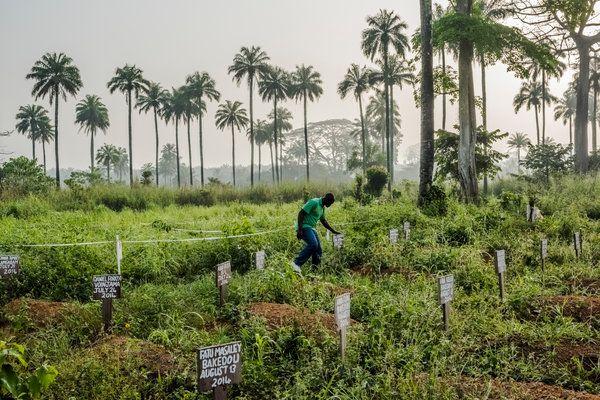 How Ebola Roared Back - NYTimes.com How Ebola Roared Back http://www.nytimes.com/2014/12/30/health/how-ebola-roared-back.html