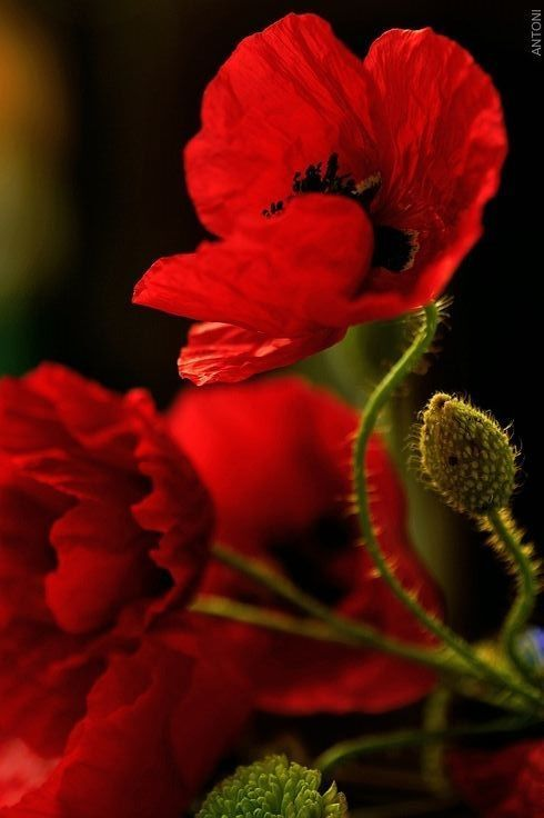 Love the vibrant red of these poppies.  You really see the curved, graceful shape of the stems here in this photo.  Great lights and shadows.