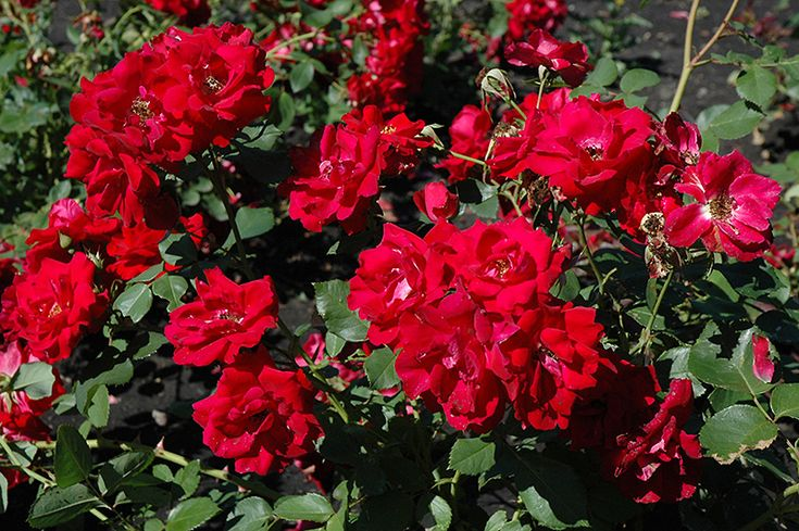 Champlain Rose (Rosa 'Champlain') at Salisbury Greenhouse and Landscaping