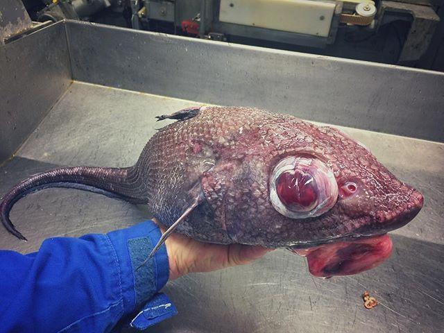 Опять в #трал попался. #макрурус. Страшная, но вкусная #рыба. #Баренцево_море #промысел #траулер