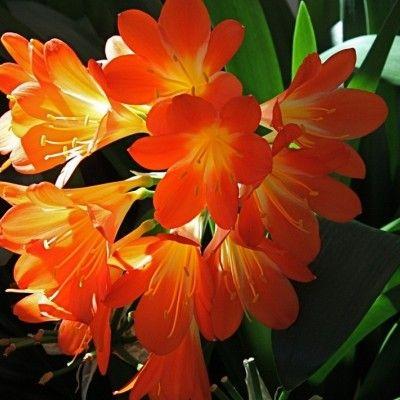 Kliwia to piękny doniczkowy kwiat, który dość dobrze znosi zaniedbanie i lepiej czuje się w zapomnieniu niż w centrum uwagi. Fot. Alunda - pixabay.com