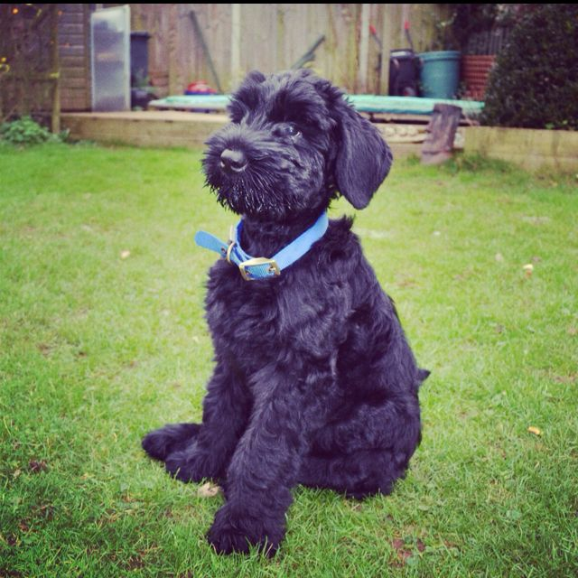 Giant Schnauzer puppy!  Cannot even imagine my Stella Bean this tiny...