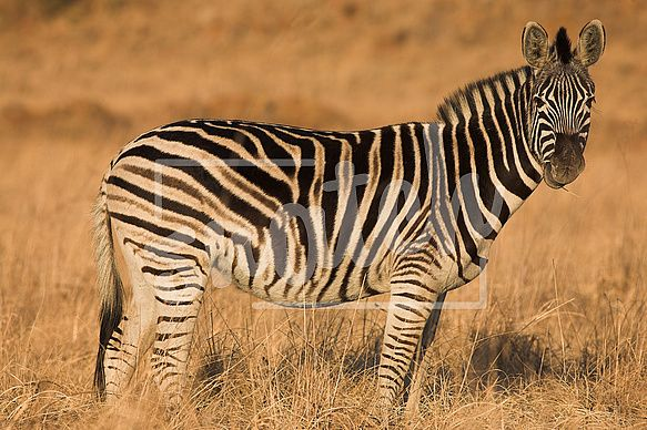 Zebra grazing in the veldt – Rietvlei, South Africa (Winter) Snatch Stock Images - Stock Photography | Vectors | Graphics | Videos