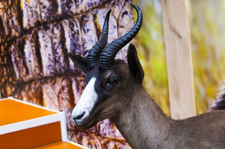 Impressive antelope trophy seen during Polish Hunting Fairs - Hubertus EXPO 2015. Hunt beautiful beasts of the wild with us!