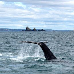 Humpbacks off West Cork in April? Anything is possible!