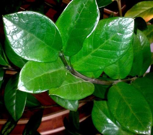 A zamioculcas gondozása.  Hazánkba is elérkezett a zamio láz. Ez a különleges pálma, ( zamioculcas zamiifolia) a bőrszerű méregzöld leveleivel díszít, a lakás modern dísze lehet.