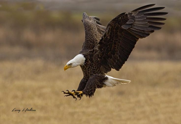 Bald Eagle Landing by larry.hitchens