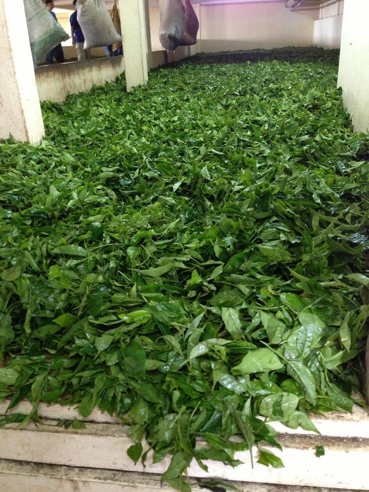 Usine de thé à Bois Chéri #Mauritius