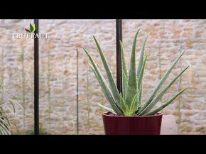 Comment Rempoter Et Extraire Lu0027Aloe Vera ?   Jardinerie Truffaut TV    YouTube