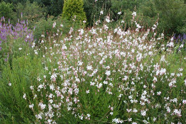Perennial borders - gaura Gaura lindheimeri 'Whirling Butterflies': Delivery by Crocus.co.uk