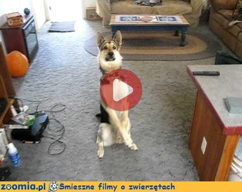 Bang, bang Śmieszne Filmy Psy http://Zoomia.pl