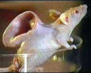 'Vacanti Mouse'. Researchers grew an ear-shaped piece of cartilage on this mouse.