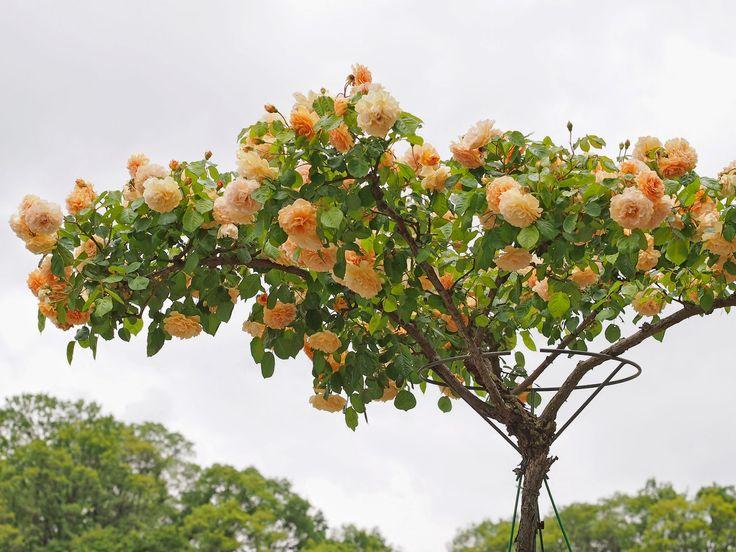 Jardines que me gustan arboles de rosas arboles for Arboles de flores para jardin