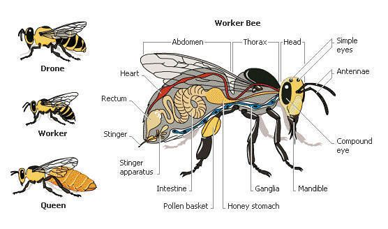 Honey Bee Anatomy - thank you for this great pic. If you enjoy these, you will love our Blog with lots of beekeeping videos. Http://www.mahakobees.com/blog