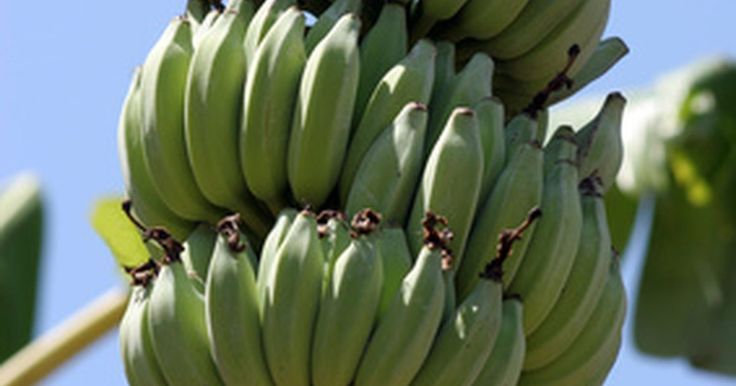 Adaptações para bananeiras. As bananeiras podem crescer até 7,5 m em seu habitat natural. São plantas tropicais e semi-tropicais que crescem nos bosques de florestas. A planta produz um fruto comestível vindo do sistema reprodutivo estéril de uma flor feminina não fertilizada, fazendo a planta ser cultivada como fonte dessa fruta popular. Os cachos das frutas são cortados ...