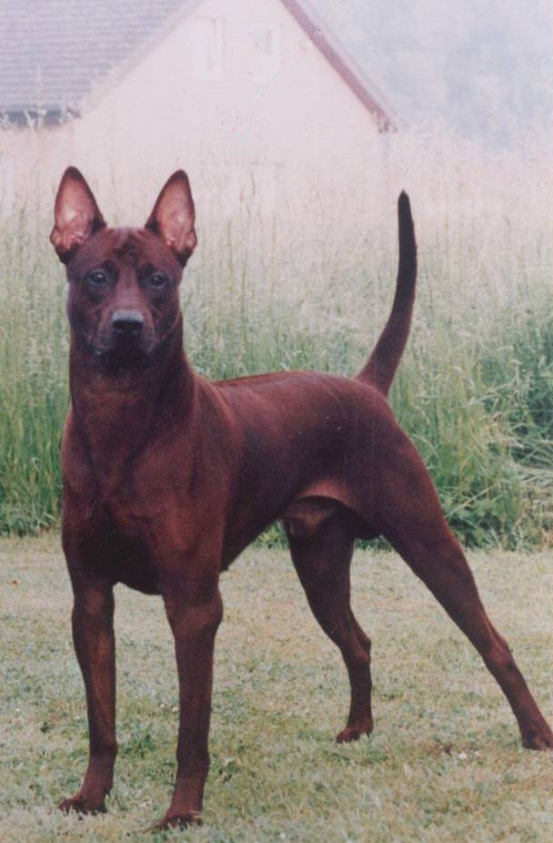 Thai Ridgeback - With the clearly defined ridge running down its back and a long, tapering tail that's held vertically or curved like a sickle, the Thai Ridgeback stands out from the crowd. The breed has been around for hundreds of years in its native Thailand, where it was used for hunting and guard duty.