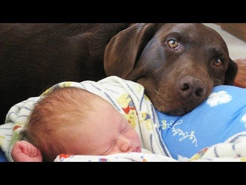 """[Video] A """"Dog"""" Helper With The New Little One In The Family!! - http://www.pawsforpeeps.com/video-a-dog-helper-with-the-new-little-one-in-the-family/"""