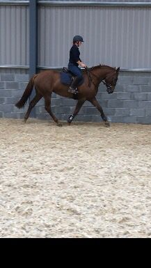 4 year old 15.3hh mare by Killea Hill View. Sold as a hunter/all rounder at the Mullingar Sports Horse Sale.
