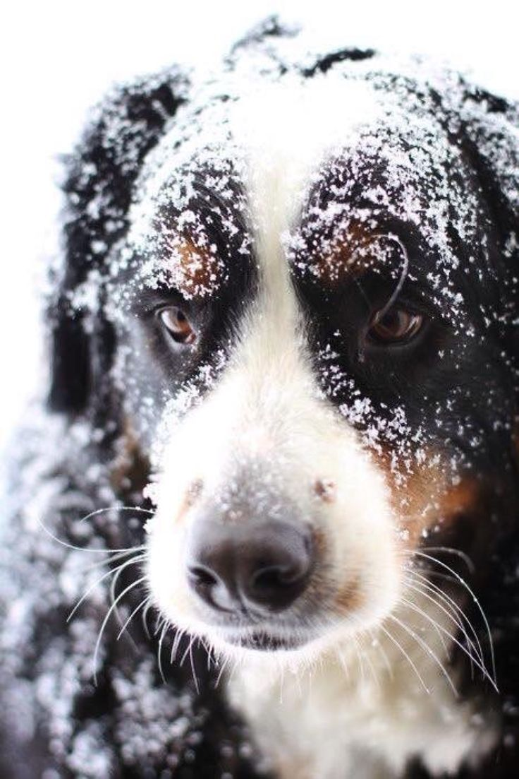 Berner in the Snow